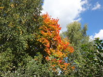 Οι κορυφές των δέντρων με το φθινόπωρο φεύγουν Στοκ Εικόνα