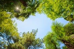 Οι κορυφές των δέντρων στο υπόβαθρο των σαφών ακτίνων ουρανού και ήλιων Στοκ εικόνα με δικαίωμα ελεύθερης χρήσης