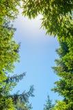 Οι κορυφές των δέντρων στο υπόβαθρο των σαφών ακτίνων ουρανού και ήλιων Στοκ Εικόνες