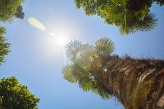 Οι κορυφές των δέντρων στο υπόβαθρο των σαφών ακτίνων ουρανού και ήλιων Στοκ φωτογραφίες με δικαίωμα ελεύθερης χρήσης