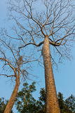 Οι κορυφές των δέντρων, Angkor Στοκ Εικόνες