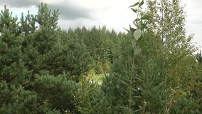 Οι κορυφές των δέντρων ενάντια στον ουρανό Κορώνες των πράσινων δέντρων απόθεμα βίντεο