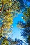 Οι κορυφές των πεύκων αναμμένων από τον ήλιο ρύθμισης στοκ εικόνες με δικαίωμα ελεύθερης χρήσης