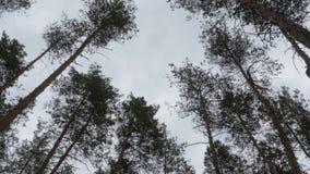 Οι κορυφές των χριστουγεννιάτικων δέντρων, δάσος πεύκων το καλοκαίρι που ταλαντεύεται στον αέρα φιλμ μικρού μήκους