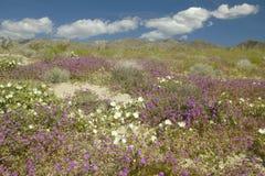 Οι κρίνοι ερήμων και τα άσπρα λουλούδια που ανθίζουν με τα άσπρα αυξομειούμενα σύννεφα στο κρατικό πάρκο ερήμων anza-Borrego, κον Στοκ φωτογραφία με δικαίωμα ελεύθερης χρήσης