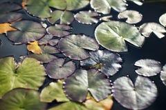Οι κρίνοι νερού και οι κρίνοι στο νερό κλείνουν επάνω σε υπαίθριο Στοκ Εικόνες