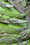 Οι κροκόδειλοι περιμένουν τη σίτιση στο αγρόκτημα Στοκ Φωτογραφίες