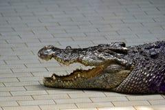 Οι κροκόδειλοι subfamily Crocodylinae ή οι αληθινοί κροκόδειλοι είναι μεγάλοι semiaquatic στοκ φωτογραφία