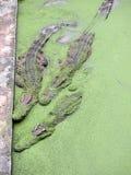Οι κροκόδειλοι κλείνουν επάνω στοκ εικόνα