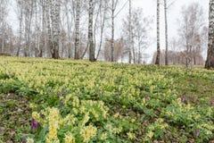 Οι κρόκοι απομακρύνθηκαν πρώτη άνοιξη λουλουδιών Ξέφωτο των snowdrops Στοκ Εικόνες