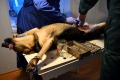 Οι κτηνίατροι γιατρών αναπτύσσουν δραστηριότητες σε ένα σκυλί Στοκ φωτογραφία με δικαίωμα ελεύθερης χρήσης