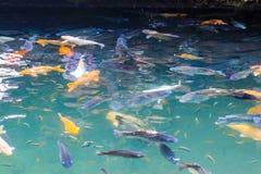 Οι κυπρίνοι Koi αλιεύουν την ιαπωνική κολύμβηση στη λίμνη στοκ φωτογραφία