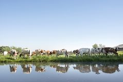 Οι κόκκινες και άσπρες αγελάδες στο πράσινο χλοώδες λιβάδι απεικόνισαν στο νερό του καναλιού την ηλιόλουστη ημέρα άνοιξη στις Κάτ Στοκ Φωτογραφία