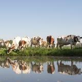Οι κόκκινες και άσπρες αγελάδες στο πράσινο χλοώδες λιβάδι απεικόνισαν στο νερό του καναλιού την ηλιόλουστη ημέρα άνοιξη στις Κάτ Στοκ Εικόνα