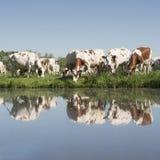Οι κόκκινες και άσπρες αγελάδες στο πράσινο χλοώδες λιβάδι απεικόνισαν στο νερό του καναλιού την ηλιόλουστη ημέρα άνοιξη στις Κάτ Στοκ Εικόνες