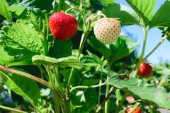 Οι κόκκινες και άσπρες κρεμώντας φράουλες που περιβάλλονται με πράσινο βγάζουν φύλλα και διαφωτισμένος από τον ήλιο πρωινού στοκ εικόνα