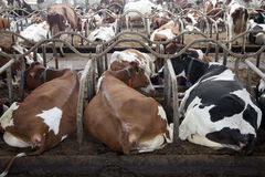 Οι κόκκινες και μαύρες αγελάδες βρίσκονται στον πλήρη σταύλο με άλλες αγελάδες στην ΤΣΕ Στοκ Εικόνα
