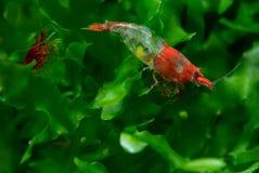 Οι κόκκινες νάνες γαρίδες σουσιών με την εγκυμοσύνη μένουν στις πράσινες υδρόβιες εγκαταστάσεις στη δεξαμενή ενυδρείων γλυκού νερ στοκ φωτογραφία