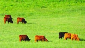 Οι κόκκινες σκωτσέζικες αγελάδες βόσκουν στο λιβάδι απόθεμα βίντεο