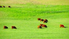 Οι κόκκινες σκωτσέζικες αγελάδες βόσκουν στο λιβάδι φιλμ μικρού μήκους