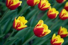 Οι κόκκινες τουλίπες με το κίτρινο σχέδιο ανθίζουν μια ηλιόλουστη ημέρα στο πάρκο σε ένα υπόβαθρο των πράσινων φύλλων στοκ εικόνες