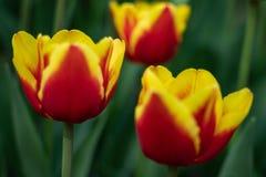 Οι κόκκινες τουλίπες με το κίτρινο σχέδιο ανθίζουν μια ηλιόλουστη ημέρα στο πάρκο σε ένα υπόβαθρο των πράσινων φύλλων στοκ εικόνα