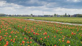 Οι κόκκινες τουλίπες χρονικού σφάλματος ανθίζουν τους τομείς στην Ολλανδία με το χαρακτηριστικό ολλανδικό ουρανό με τα όμορφα σύν απόθεμα βίντεο