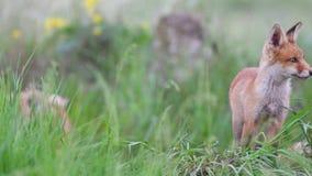 Οι κόκκινες cub αλεπούδων στάσεις στη χλόη και εξετάζουν τη κάμερα Vulpes απόθεμα βίντεο