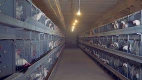 Οι κόκκορες και οι κότες τρώνε τα τρόφιμα στα κλουβιά απόθεμα βίντεο