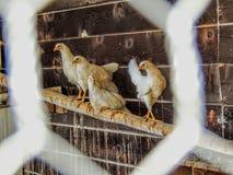Οι κότες εσκαρφάλωσαν στη σύνδεση το σπίτι κοτών στοκ εικόνα