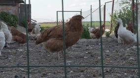 Οι κότες και οι κόκκορες περπατούν στο κοτέτσι στο αγρόκτημα φιλμ μικρού μήκους