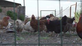 Οι κότες και οι κόκκορες περπατούν στο κοτέτσι στο αγρόκτημα απόθεμα βίντεο