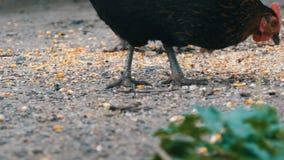 Οι κότες και οι κόκκορες τρώνε τα τρόφιμα από το έδαφος κατά μια στενή επάνω άποψη του χωριού ναυπηγείων φιλμ μικρού μήκους