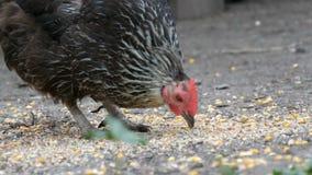 Οι κότες και οι κόκκορες τρώνε τα τρόφιμα από το έδαφος κατά μια στενή επάνω άποψη του χωριού ναυπηγείων απόθεμα βίντεο