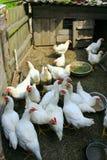 Οι κότες τρώνε στο φάρμα πουλερικών Στοκ Εικόνες