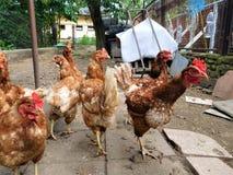 Οι κότες Στοκ Εικόνα