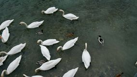 Οι κύκνοι κολυμπούν στη λίμνη απόθεμα βίντεο