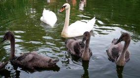 Οι κύκνοι με τους νεοσσούς που κολυμπούν στη λίμνη βουτούν για το άσπρο και γκρίζο πουλί τροφίμων Μια βουβή μητέρα κύκνων (olor α απόθεμα βίντεο