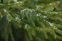 Οι κλάδοι δέντρων χειμερινού έλατου που καλύπτονται με τον πάγο, το χιόνι και το παγωμένο νερό μειώνονται Παγωμένος κομψός κλάδος Στοκ εικόνες με δικαίωμα ελεύθερης χρήσης