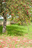 Δέντρο της Apple Στοκ Εικόνα