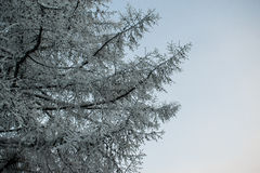 Οι κλάδοι ενός δέντρου στο hoarfrost σε έναν ουρανό υποβάθρου Στοκ Εικόνες