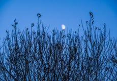 Οι κλάδοι με το φεγγάρι Στοκ Εικόνα