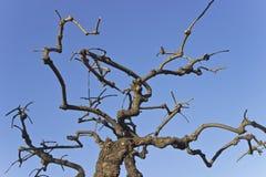 οι κλάδοι ξεραίνουν το δέντρο Στοκ εικόνες με δικαίωμα ελεύθερης χρήσης