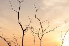 οι κλάδοι ξεραίνουν το δέντρο Στοκ Εικόνα