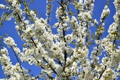 Οι κλάδοι του δέντρου κερασιών ανθίζουν την άνοιξη Στοκ Εικόνες
