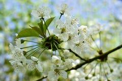 Οι κλάδοι του δέντρου κερασιών ανθίζουν την άνοιξη Στοκ Εικόνα