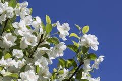 Οι κλάδοι των δέντρων της Apple με τα άσπρα λουλούδια Στοκ Φωτογραφία