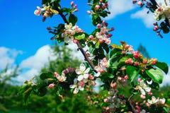 Οι κλάδοι των δέντρων της Apple με τα λουλούδια στο υπόβαθρο μπλε ουρανού Στοκ Εικόνες