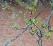 Οι κλάδοι των δέντρων της Apple την άνοιξη κάτω από τη βροχή Στοκ φωτογραφία με δικαίωμα ελεύθερης χρήσης