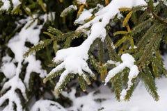 Οι κλάδοι των ερυθρελατών κάτω από το χιόνι Στοκ εικόνες με δικαίωμα ελεύθερης χρήσης
